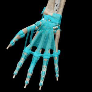 手の平の靭帯