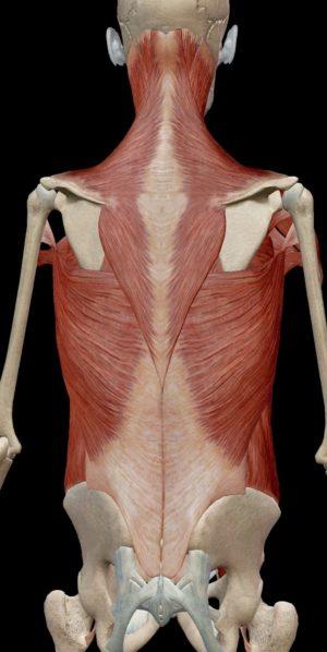 背骨のアウターマッスル