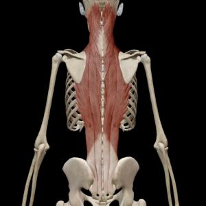 体幹筋1(脊柱起立筋)