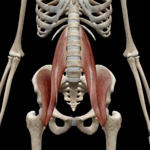 深部腹筋群(大腰筋・小腰筋・腸骨筋)